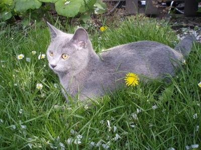 Charly(Chartreux)kein BKH