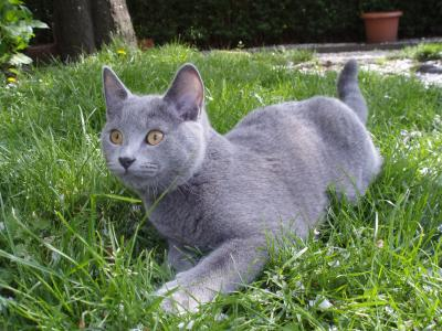 Charly(Chartreux) kein BKH